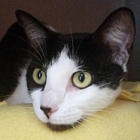 Adopt A Pet :: Pixy Stix - Sarasota, FL