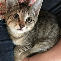 Adopt A Pet :: Stevie the Female Wonder Kitten - Oviedo, FL