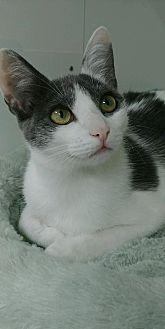 Domestic Shorthair Cat for adoption in San Antonio, Texas - Betty