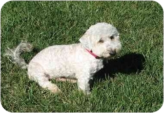 Bichon Frise Mix Dog for adoption in La Costa, California - Marley the Mellow Fellow