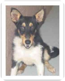 Sheltie, Shetland Sheepdog Mix Dog for adoption in Avon, New York - Chance