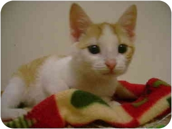 Domestic Shorthair Kitten for adoption in Chester, Maryland - Cotton Tail