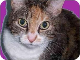 Domestic Shorthair Cat for adoption in Cincinnati, Ohio - Mocha Latte