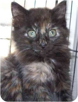 Domestic Longhair Kitten for adoption in Olive Branch, Mississippi - Chewie
