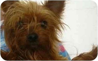 Yorkie, Yorkshire Terrier Mix Dog for adoption in Spruce Pine, North Carolina - Murphy