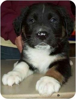 Border Collie/German Shepherd Dog Mix Puppy for adoption in North Judson, Indiana - Triton