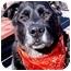 Photo 4 - Labrador Retriever/Flat-Coated Retriever Mix Dog for adoption in Huntington, New York - Jagger