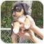 Photo 1 - Labrador Retriever/Australian Shepherd Mix Puppy for adoption in Brooksville, Florida - DIESEL