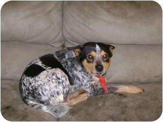Australian Cattle Dog Mix Dog for adoption in sophia, North Carolina - chase