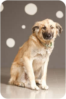 Anatolian Shepherd Mix Dog for adoption in Portland, Oregon - Grizzly