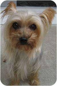 Yorkie, Yorkshire Terrier Dog for adoption in Dover, Massachusetts - Nora