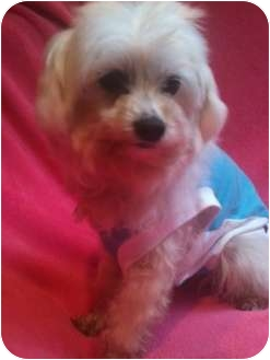 Maltese/Poodle (Miniature) Mix Dog for adoption in Long Beach, California - ANNIE