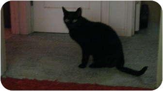 Domestic Shorthair Cat for adoption in Yuba City, California - Gwen