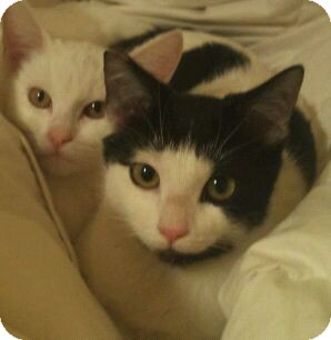 American Shorthair Cat for adoption in Modesto, California - Polka-dot