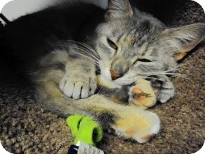 Domestic Shorthair Cat for adoption in West Warwick, Rhode Island - Norene