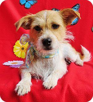 Jack Russell Terrier/Cairn Terrier Mix Dog for adoption in Irvine, California - Arwen