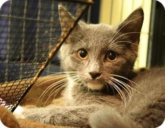 Domestic Shorthair Kitten for adoption in West Des Moines, Iowa - Boots