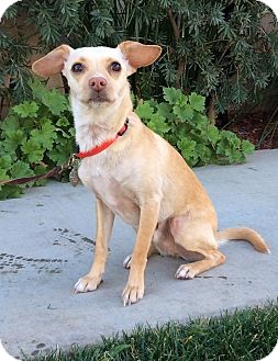 Chihuahua Mix Dog for adoption in El Cajon, California - KYLE