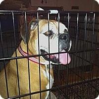 Adopt A Pet :: Laila - Santa Monica, CA