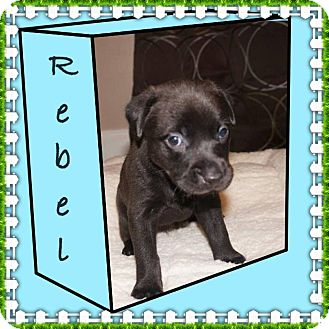 Labrador Retriever/Boxer Mix Puppy for adoption in Groton, Massachusetts - Rebel