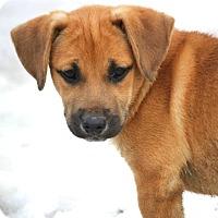 Adopt A Pet :: *Pretty Panzy - PENDING - Westport, CT