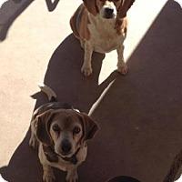 Adopt A Pet :: Tanner Bee - Phoenix, AZ