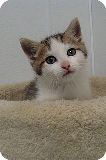 Domestic Shorthair Kitten for adoption in Bryan, Ohio - Hagrid