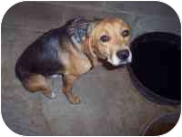 Beagle Mix Dog for adoption in Lombard, Illinois - Archie