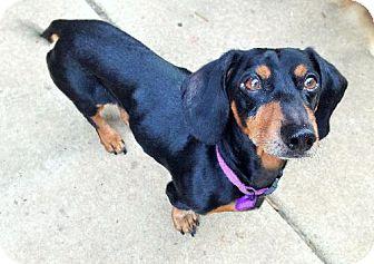 Dachshund Dog for adoption in Buffalo, New York - Barry