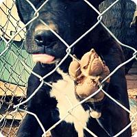 Adopt A Pet :: Cassie - Odessa, TX