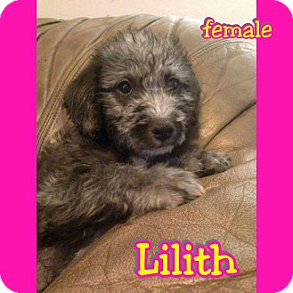 Labradoodle Mix Puppy for adoption in Mesa, Arizona - Lilith