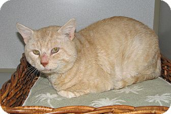 Domestic Shorthair Cat for adoption in Ruidoso, New Mexico - Quade