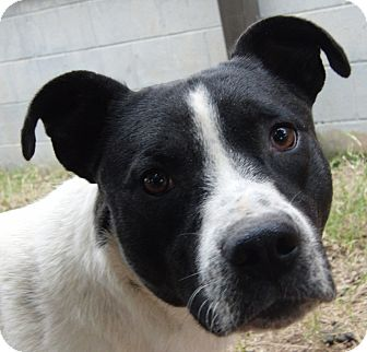 Hound (Unknown Type)/Pit Bull Terrier Mix Dog for adoption in Marion, Alabama - Hermann Rorschach