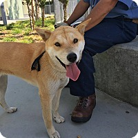 Adopt A Pet :: Scout - Los Angeles, CA