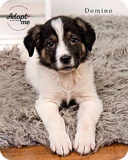 Great Pyrenees Mix Puppy for adoption in Cincinnati, Ohio - Domino