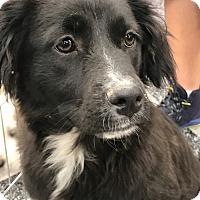 Adopt A Pet :: Niki - Tucson, AZ