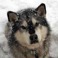 Adopt A Pet :: SHIFT - Boise, ID