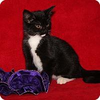 Adopt A Pet :: Yoko (Spayed) - Marietta, OH