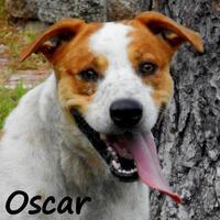 Adopt A Pet :: OSCAR - Palm Coast, FL