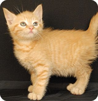 Domestic Shorthair Kitten for adoption in Newland, North Carolina - Flutter
