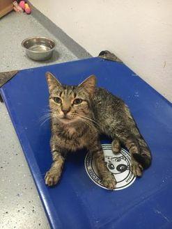 Domestic Shorthair/Domestic Shorthair Mix Cat for adoption in Brooksville, Florida - Skylar