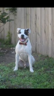 Mixed Breed (Large) Mix Dog for adoption in Pflugerville, Texas - Dozer