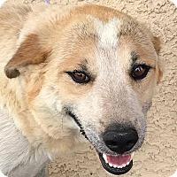 Adopt A Pet :: Valentine - Las Vegas, NV