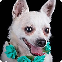 Chihuahua Mix Dog for adoption in Lodi, California - Chloe