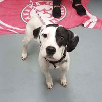 Beagle Mix Dog for adoption in Mission, Kansas - Lettuce Eat