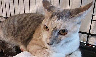 Domestic Shorthair Kitten for adoption in West Palm Beach, Florida - Alyssa