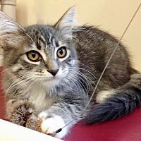 Adopt A Pet :: Kitten Minnie - Seal Beach, CA
