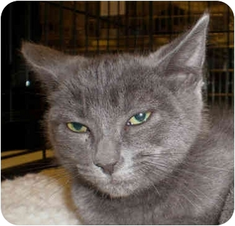 Domestic Shorthair Kitten for adoption in Yorba Linda, California - Archie