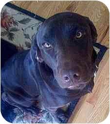 Labrador Retriever Mix Dog for adoption in Evergreen, Colorado - Boone