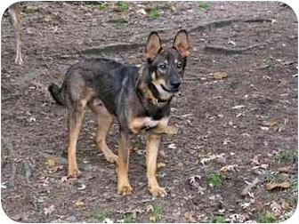 Shepherd (Unknown Type) Mix Dog for adoption in Old Bridge, New Jersey - Shay